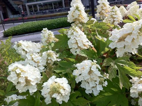 東京ミッドタウンのカシワバアジサイ(Hydrangea at Tokyo Midtown)