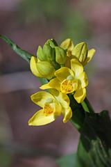 新治市民の森のキンラン(Orchid at Niiharu Community Woods)