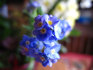 forget-me-not - wild form