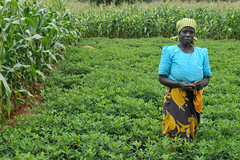 Malawian farmer in her groundnut plot under co...