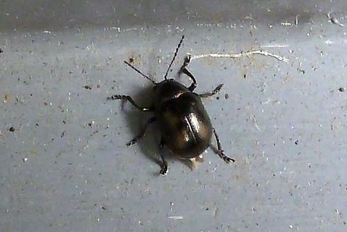 ハムシ(Leaf beetle at Yokohama, Japan)