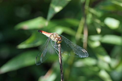 寺家ふるさとの森のナツアカネ♀(Dragonfly, Jike Home Woods, Yokohama, Japan)
