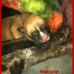 Rosie's Pup