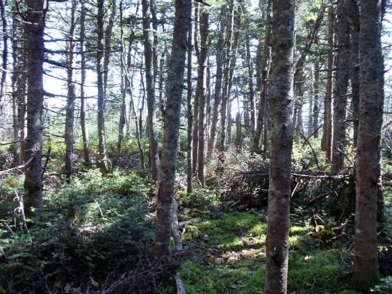 Franconia Ridge Trail Forest on the New Hampshire Appalachian Trail
