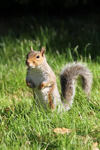 britisches Eichhörnchen