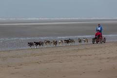 19/01/2013 Coxyde - Sled Dog