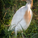 "Cattle Egret • <a style=""font-size:0.8em;"" href=""http://www.flickr.com/photos/46573723@N03/8662568749/"" target=""_blank"">View on Flickr</a>"