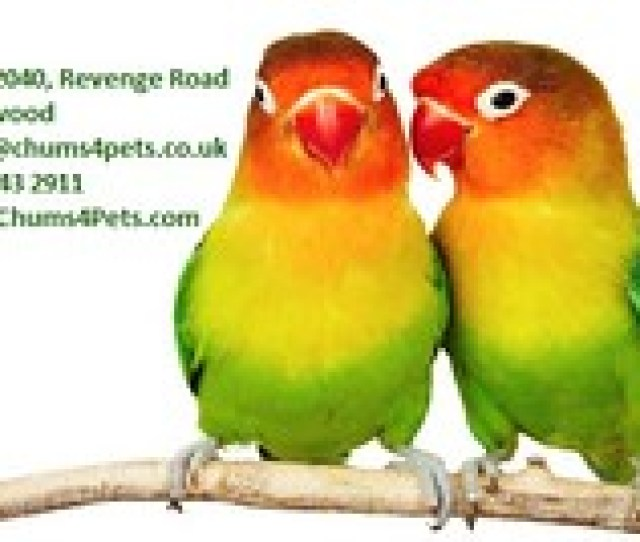Pair Of Lovebirds Chums4pets Tags African Agapornis Agapornisfischeri Amusing Bird Color Colorful Colour Inseparable