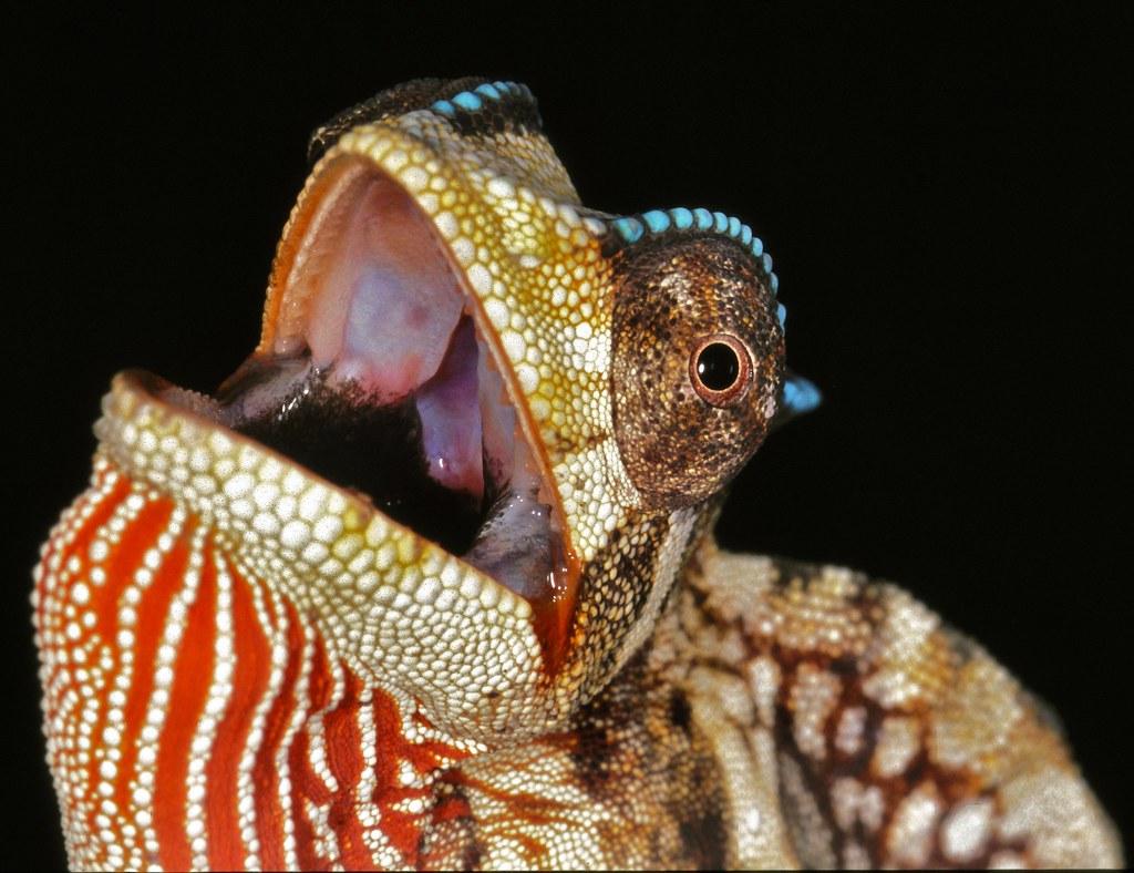 Crested Chameleon (Trioceros cristatus) by berniedup, on Flickr
