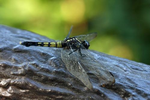 三保市民の森のオオシオカラトンボ(♀)