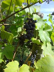 Le raisin est mûr, Bosdarros, Béarn, Pyrénées ...