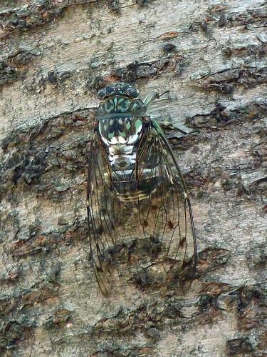 青山霊園のミンミンゼミ(Cicada at Aoyama Cemetery, Tokyo, Japan)