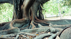 Deep thick roots