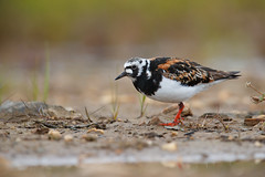 Ruddy Turnstone | roskarl | Arenaria interpres