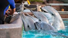 Dolphins at Sea World, San Diego