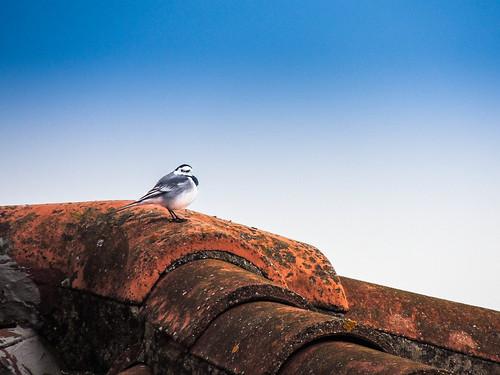Cip.... (rospex) parco fauna flora tetto natura uccelli sibillini