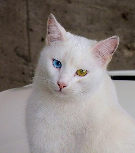 Occhi di gatto... (rospex) occhi gatto ritratto animali