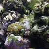 """Some purple star polyps in my tank. • <a style=""""font-size:0.8em;"""" href=""""http://www.flickr.com/photos/33121778@N02/8553828600/"""" target=""""_blank"""">View on Flickr</a>"""
