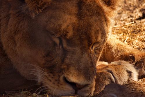 Sleeping Lioness (Felis Leo)