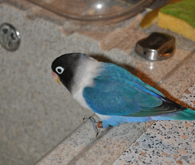 Zorro Lesliechou Tags Bird Lovebird Oiseau Inseparable