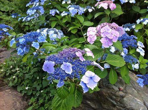 檜町公園のガクアジサイ(Hydrangea at Hinokicho park)
