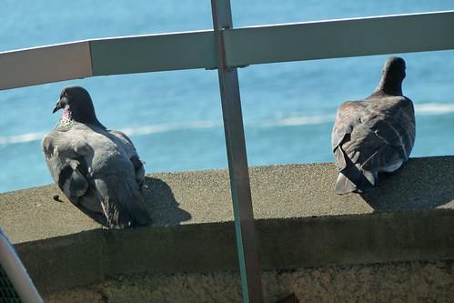 休憩するドバト(Pigeon, Shimoda, Shizuoka, Japan)