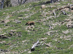 Grizzly in Glacier