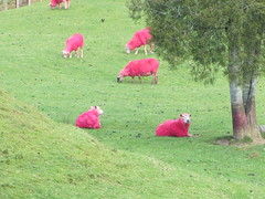 Residents at SheepWorld, north of Auckland