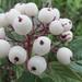Sun-Bleached Berries?