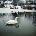 """Swan & Ducks • <a style=""""font-size:0.8em;"""" href=""""http://www.flickr.com/photos/63784922@N07/8394586303/"""" target=""""_blank"""">View on Flickr</a>"""
