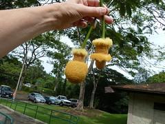 20121202_HoomaluhiaBG_ParkiaTimoriana_Cutler_P1380022 (wlcutler) Tags: hawaii kaneohe fabaceae hoomaluhiabotanicalgarden Parkia timoriana