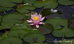 Pink floater