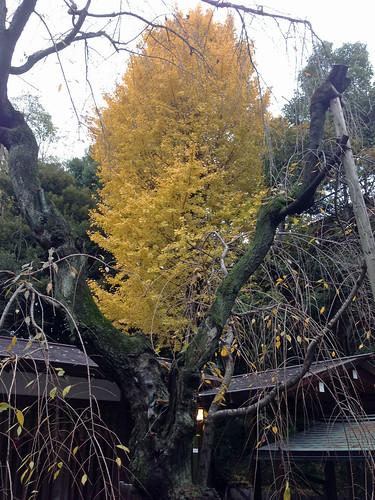 Colored Leaves at Nogi Jinja Shrine(Tokyo, Japan)