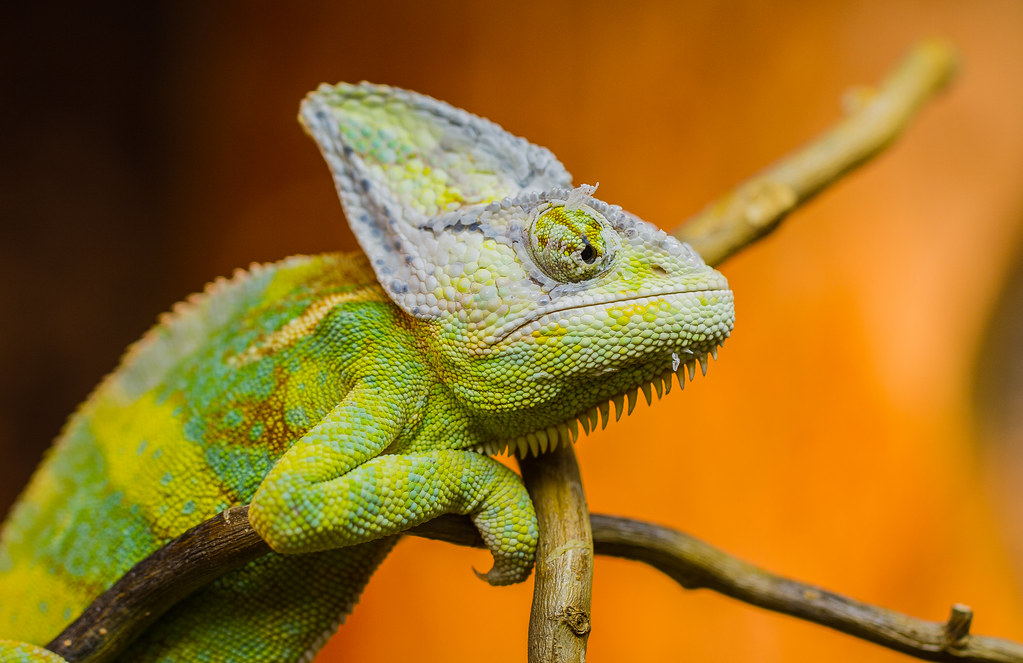 Jemenchamäleon - Yemen chameleon by Steffen239, on Flickr