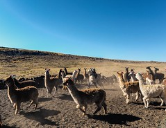 Day 541. Just behind Nazca the road climbs to high plains. Up there it's cold, men where wool caps and the alpaca have thick fur. I'm heading in the opposite direction, towards the coast and again into the desert. It's unlikely I'll have much service for