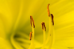 """Heart of a Daylily • <a style=""""font-size:0.8em;"""" href=""""http://www.flickr.com/photos/41711332@N00/8711779666/"""" target=""""_blank"""">View on Flickr</a>"""
