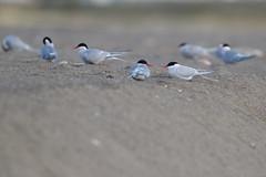 Arctic Tern | silvertärna | Sterna paradisaea