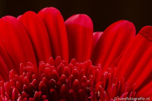 Rode Gerbera