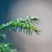 Spruce twig / gran kvist
