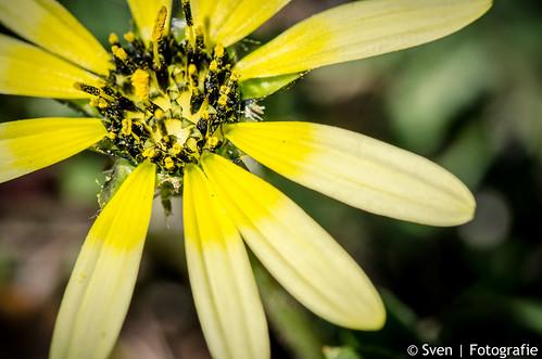 Een bloem in Tasmanië
