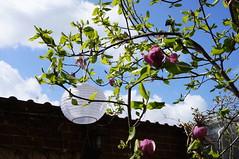 Și, bineînțeles, magnolia