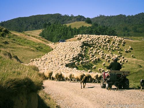 Miljoenen schapen