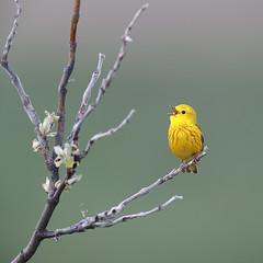 American Yellow Warbler | gul skogssångare | Setophaga aestiva