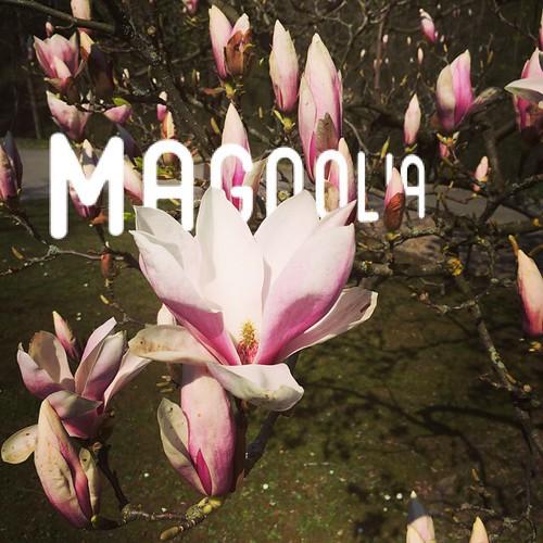 #MAGNOLIA III