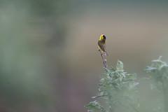 Wilson's Warbler | svartkronad skogssångare  | Cardellina pusilla