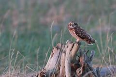Short-eared Owl   jorduggla   Asio flammeus