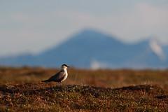 Long-tailed Jaeger | fjällabb | Stercorarius longicaudus