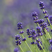 "Lavender • <a style=""font-size:0.8em;"" href=""http://www.flickr.com/photos/15533594@N00/28429262356/"" target=""_blank"">View on Flickr</a>"