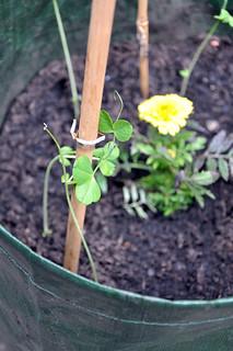 Sugar snap pea plant