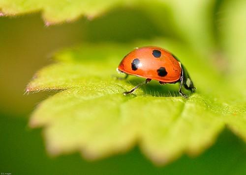 3453. Ladybird